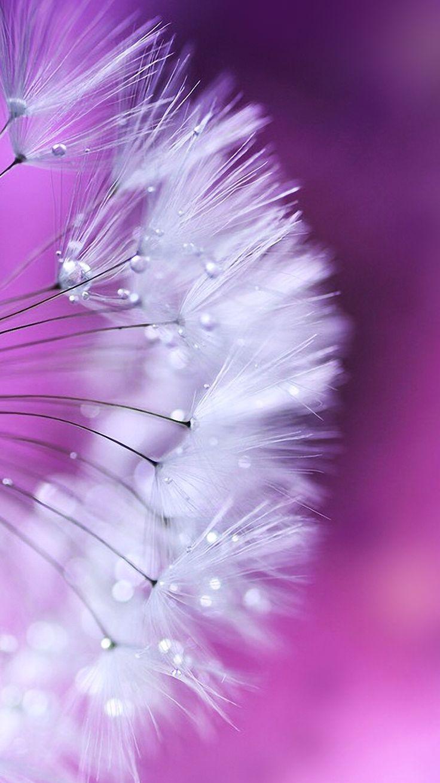 dandelion-iphone-6-wallpaper-free-download.png 750×1.334 pixels