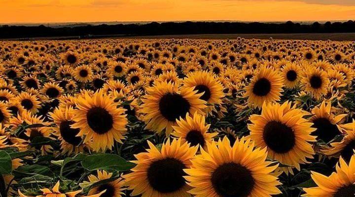 Miu on Twitter #sunflowerwallpaper Bee #Bee #Miu #sunflowerwallpaper #twitter