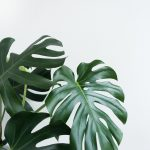 Monstera Deliciosa leaf 🌿 Check out my other boards for more wallpapers~