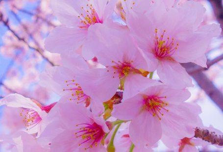 #Sakura #Blumen #Blumen #Blumen #Wallpaper #Lockscreen