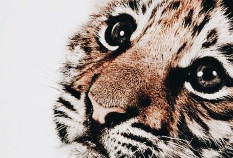 Tiger Kinderzimmer drucken #drucken #kinderzimmer #tiger