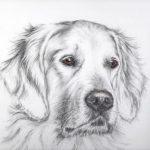 Dog portrait of Bruno a golden retriever