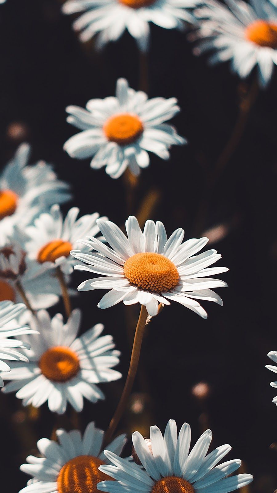 #thebestwallpapers #background #chamomile #wallpaper #followme