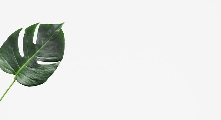 Split leaf philodendron on white background