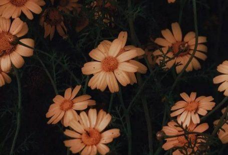 Yellow chrysanthemum wallpaper for Android and iPhone#chrysanthemumflower #chrysanthemumart #flowerwallpaper #prettyflower #beautifulflower